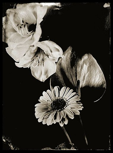fiori3_ambrotype