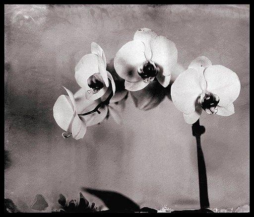 orchidee 18x24_tyntipe